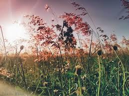 Đồi cỏ hồng Phú Yên1