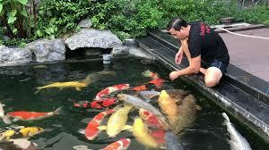 Chia sẻ kinh nghiệm nuôi cá koi lên màu đẹp.
